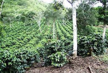 Arabica and Robusta Coffee Plant